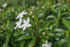 предпосылка цветет зеленая белизна Стоковая Фотография RF