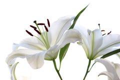 предпосылка цветет лоснистая белизна лилии 2 цветки изолировали белизну Стоковое фото RF