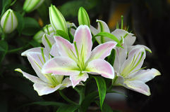 предпосылка цветет лоснистая белизна лилии 2 Стоковое Фото
