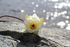 предпосылка цветет лоснистая белизна лилии 2 Стоковые Изображения