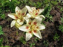 предпосылка цветет лоснистая белизна лилии 2 Стоковая Фотография