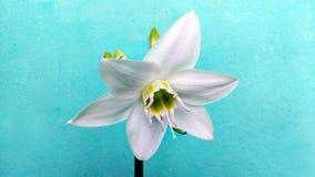 предпосылка цветет лоснистая белизна лилии 2 Стоковые Фото