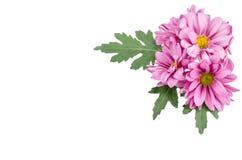 1 предпосылка цветет пинк Стоковое Изображение RF
