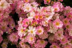 1 предпосылка цветет пинк Стоковое фото RF