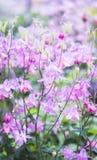 предпосылка цветет пинк Стоковое Изображение