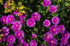 предпосылка цветет пурпур Стоковые Фотографии RF