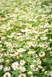 Предпосылка цветка белых маргариток Стоковые Фотографии RF