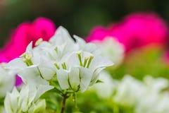 Предпосылка цветка бугинвилии конца-вверх белая Стоковые Фотографии RF