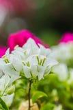 Предпосылка цветка бугинвилии конца-вверх белая Стоковые Фото