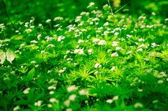 Предпосылка цветка весны, snowdrops Стоковое фото RF