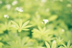 Предпосылка цветка весны, snowdrops Стоковое Фото
