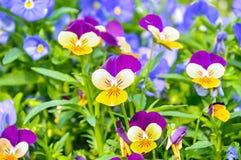 Предпосылка цветка лета - поле розовых, желтых и голубых pansies лета Стоковые Изображения