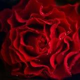 Предпосылка цветка конспекта розовая Цветки сделанные с цветными поглотителями темнота предпосылки - красный цвет Стоковая Фотография RF