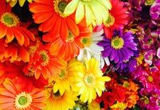Предпосылка цветка маргаритки Стоковые Изображения RF