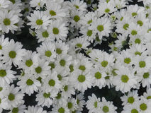 Предпосылка цветка маргаритки Oxeye Стоковое Фото