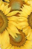 предпосылка цветка с солнцецветами Стоковая Фотография RF