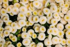Предпосылка цветка Bellis белой маргаритки стоковая фотография