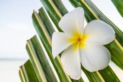 Предпосылка цветка Frangipani Стоковое Изображение