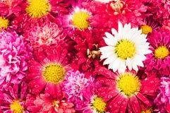 Предпосылка цветков хризантем Стоковое Изображение