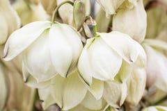 Предпосылка цветков whipplei Hesperoyucca стоковые изображения rf