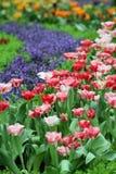 Предпосылка цветочного сада тюльпана Стоковая Фотография RF