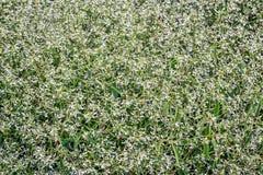 Предпосылка цветя завода молочая Стоковое Фото
