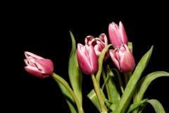Предпосылка черноты букета тюльпанов розовая Стоковое Изображение