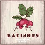Предпосылка эскиза свежих овощей Винтажная иллюстрация чертежа руки редиски Стоковое Фото