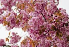 Предпосылка blossoming розовой японской вишни Стоковые Изображения RF