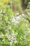 Предпосылка Blured с белыми цветками и травой Стоковое Изображение RF