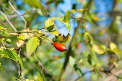 Предпосылка Briar, фото dogrose, фото briar, ягоды плода шиповника, фото плода шиповника, фото плода шиповника, сырцовые ягоды do Стоковые Фото