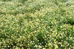 Предпосылка chamomilla Стоковая Фотография