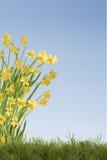 Предпосылка Daffodils Стоковые Фото