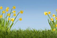 Предпосылка Daffodils Стоковые Фотографии RF