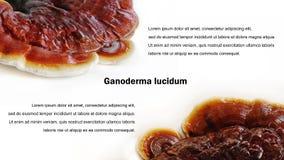 Предпосылка lucidum Ganoderma Стоковые Изображения RF