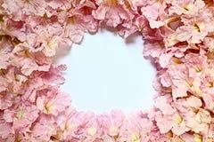 Предпосылка rosea Tabebuia Стоковое фото RF