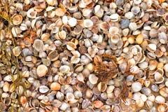Предпосылка Seashells Стоковые Изображения