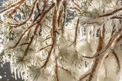 Предпосылки ветвей картины льда сосулек Стоковая Фотография RF