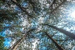 Предпосылки солнечного света древесной зелени природы сосны Стоковые Изображения RF