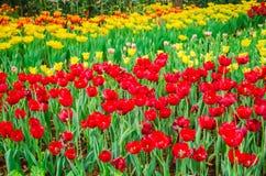 предпосылки тюльпаны defocused dof поля весьма отмелые Стоковые Изображения RF