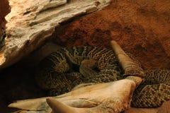 Предпосылки черепа косточки змейки смерти змейки изолированная белизна каркасной головной каркасной животная черная Стоковое фото RF