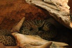 Предпосылки черепа косточки змейки смерти змейки изолированная белизна каркасной головной каркасной животная черная Стоковая Фотография RF
