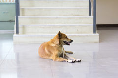 Предприниматели собаки красные ждут солитарный фронт лестницы Стоковое Изображение