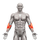 Предплечье Muscles - мышцы анатомии изолированные на бело- illustr 3D иллюстрация вектора
