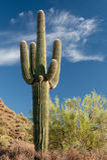 Представительный Saguaro Стоковое Изображение RF