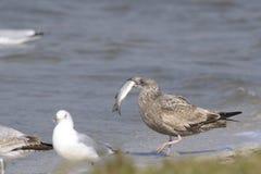 представленное счет кольцо larus чайки delawarensis Стоковое Изображение RF