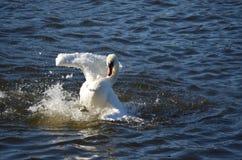 Представление лебедя Стоковая Фотография