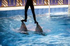 Представление дельфинов в dolphinariums Стоковое Изображение RF