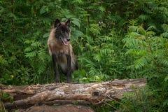 Представления волчанки волка серого волка на журнал Стоковая Фотография