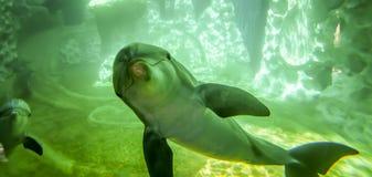 Представления дельфина для камеры в аквариуме Стоковые Изображения